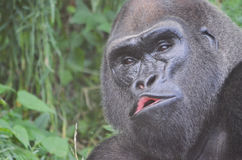 Gorilla portrait 3. A close up picture of a male western lowland gorilla moving his mouth Royalty Free Stock Photo