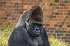Gorilla Portrait 4 Stock Photos