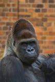 Gorilla Portrait 5 Stock Photos