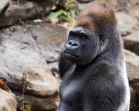 Gorilla portrait. Closeup portrait of a silver back gorilla staring into the distance Royalty Free Stock Photo