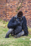 Gorilla Portrait 1 Royalty Free Stock Photography