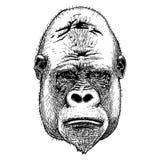 Gorilla Portrait Estilo dibujado mano detallada ilustración del vector