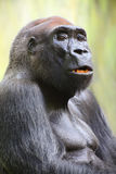 The Gorilla portrait. Stock Photos