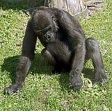 Gorilla 5 Stock Photos