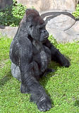 Gorilla 10 Royalty Free Stock Images
