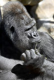 Gorilla 2 Royalty Free Stock Photos