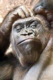 Gorilla Portrait noir Image stock