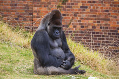 Gorilla Portrait 6 Stock Photos