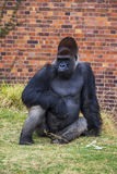 Gorilla Portrait 2 Stock Image
