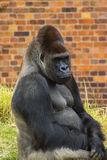 Gorilla Portrait 3 Stock Images