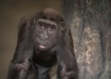 Gorilla portrait. Young male western lowland gorilla Royalty Free Stock Image