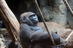 Gorilla. Portrait of a Gorilla in a zoo Stock Photography