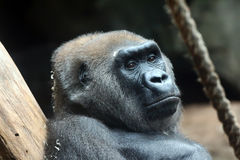 Gorilla. Portrait of a Gorilla in a zoo Royalty Free Stock Photography