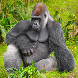 Gorilla Posing. Silverback Gorilla posing for the camera with an angry look on his face Royalty Free Stock Photos