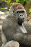 Gorilla is posing Stock Images