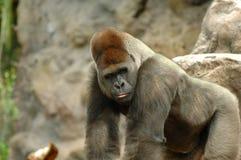 Gorilla Posing Stock Photo