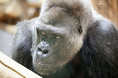 Gorilla posing. Male silverback gorilla at the zoo Royalty Free Stock Photography
