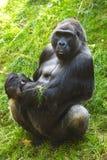 Gorilla posteriore dell'argento Fotografia Stock