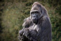 Gorilla posteriore dell'argento Fotografia Stock Libera da Diritti