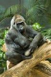 Gorilla premurosa Fotografia Stock Libera da Diritti