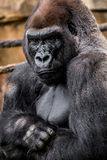Gorilla primate. Big strong gorilla male primate sitting in the grass close-up image wildlife phtoography stock photos