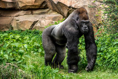 Gorilla primate stock photo
