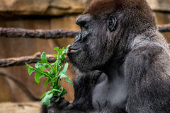 Gorilla primate close-up sniffing plant royalty free stock photos