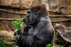 Gorilla primate sniffing plant Stock Image