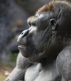 Gorilla-Profil Lizenzfreie Stockfotos