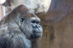 Gorilla Profile Foto de archivo