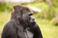 Gorilla Profile Royalty Free Stock Image