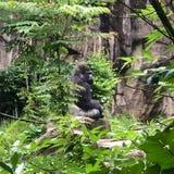 Gorilla Profile photos stock
