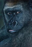 Gorilla protrait Stock Images