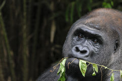 Gorilla pulling plant Stock Photos