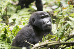 Gorilla in the rain forest of Africa Royalty Free Stock Photography