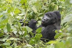 Gorilla. The silverback, leader of the gorilla family, in the mountain rainforest in Bwindi Impenetrable National Park, Uganda Royalty Free Stock Photo