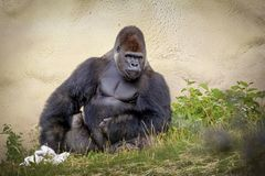 Gorilla Rest and sit royalty free stock images