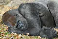 Gorilla Resting Stock Photography