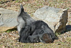 Gorilla Resting Royalty Free Stock Photos