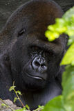 Gorilla Resting. In the shade Stock Photos