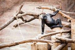 Gorilla is sitting Royalty Free Stock Photo