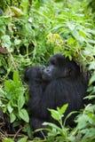 Gorilla in Ruanda Immagine Stock Libera da Diritti