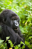 Gorilla in Ruanda Lizenzfreie Stockfotos