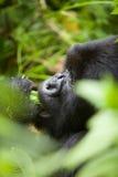 Gorilla in Ruanda Immagini Stock Libere da Diritti
