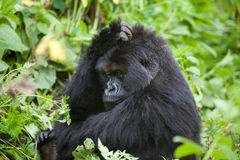 Gorilla in Ruanda Stockfoto