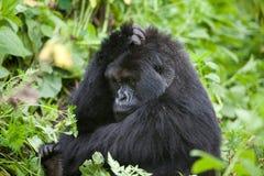 Gorilla in Ruanda Fotografia Stock