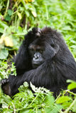 Gorilla in Ruanda Stockbilder