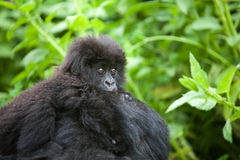 Gorilla in Ruanda Fotografie Stock Libere da Diritti