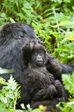 Gorilla in Ruanda Stockfotos