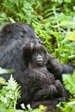 Gorilla in Ruanda Fotografie Stock